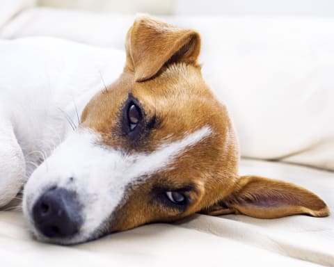 Treatment of ehrlichiosis in dogs, Flat Rock Vet